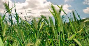 articles-barleygrass-growityourself_text_2